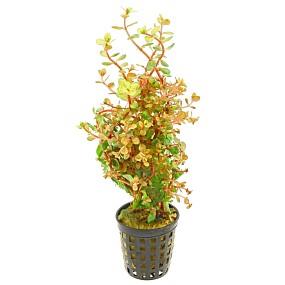 Rotala rotundifolia 'Orange Juice' - Topf