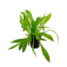 """Helanthium bolivianum """"quadricostatus"""" - Topf"""
