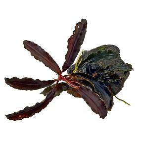 """Bucephalandra sp. """"Kedagang"""" - Einzelpflanze"""