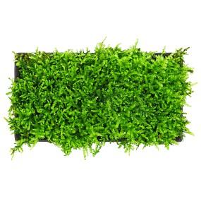 """Vesicularia cf. montagnei """"Krabi"""" - Pad - 10 x 5 cm"""