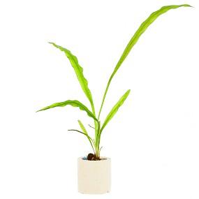 Aponogeton undulatus - Einzelpflanze