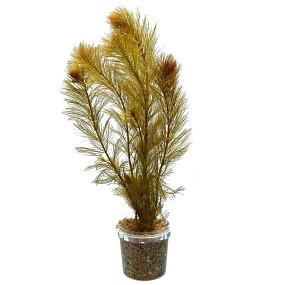 "Myriophyllum sp. ""Roraima"""