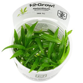 """Helanthium bolivianum """"quadricostatus"""" - 1-2-GROW!"""