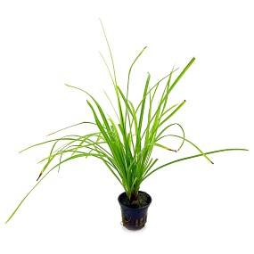 Cyperus helferi - Topf