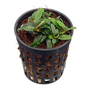 "Bucephalandra sp. ""Mini Needle Leaf"" - Topf"