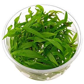 """Helanthium bolivianum """"Latifolius"""" - in Vitro XL"""