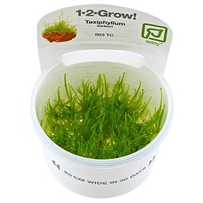 "Taxiphyllum barbieri ""Javamoos"" - 1-2-GROW!"