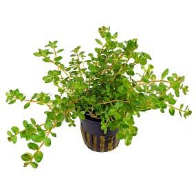 Rotala rotundifolia - Topf