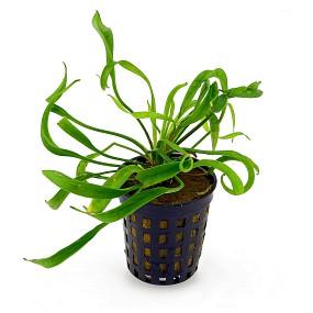 Helanthium bolivianum 'Vesuvius' - Topf