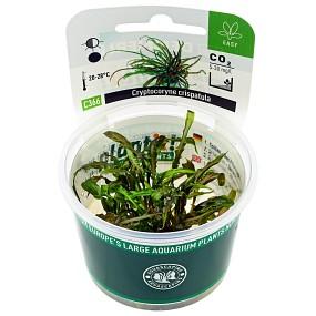 Cryptocoryne crispatula var. flaccidifolia - Plant-It!