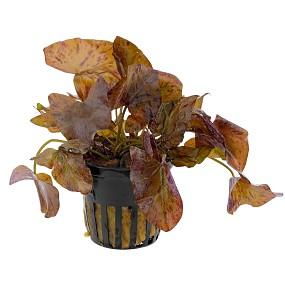 Nymphaea lotus 'Rot' - Topf