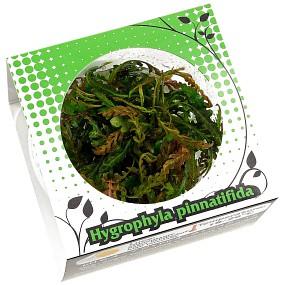 Hygrophila pinnatifida - Linea Cup