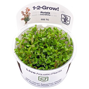 Rotala rotundifolia - 1-2-GROW!