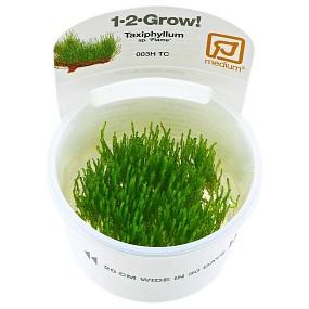 """Taxiphyllum sp. """"Flame Moss"""" - 1-2-GROW!"""