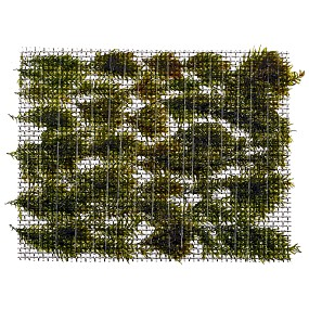 "Fissidens fontanus ""Phoenix Moss"" - Pad - 5 x 5,5 cm - Tropica"