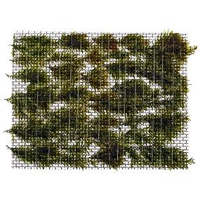 "Fissidens fontanus ""Phoenix Moss"" - Pad - 5 x 5 cm - Tropica"