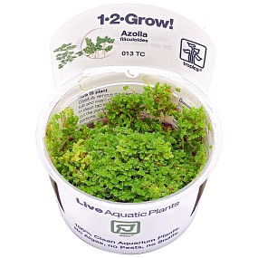 Azolla filiculoides - 1-2-GROW!
