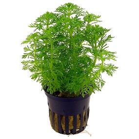Limnophila sessiliflora - Topf