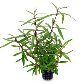 "Hygrophila lancea ""Araguaia"" - Topf"