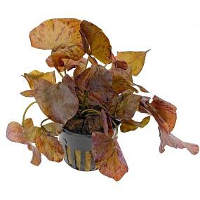 Nymphaea lotus 'Rot'