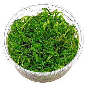 Heteranthera zosterifolia - in Vitro XL