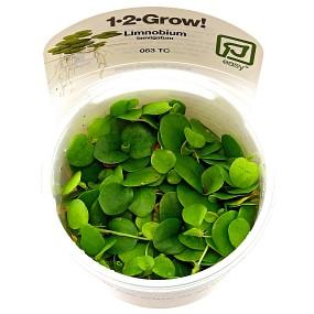 Limnobium laevigatum - 1-2-GROW!