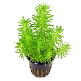 Topfpflanze Pogostemon erectus