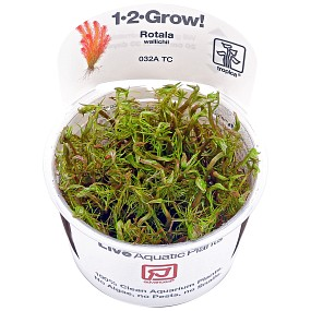 Rotala wallichii - 1-2-GROW!
