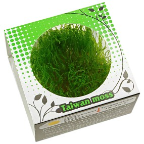 """Taxiphyllum alternans """"Taiwan Moss"""" - Linea Cup"""
