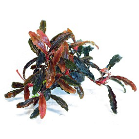 Bucephalandra sp. 'Kedagang'