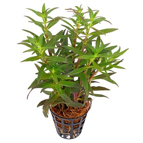 Limnophila aromatica - Topf