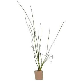 """Eriocaulon sp. """"Feather Duster"""" - Einzelpflanze"""
