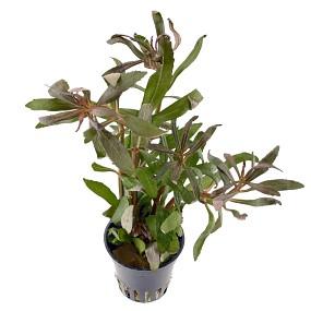 "Pogostemon stellatus ""Broad Leaf"" - Topf"