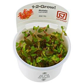 Rotala macrandra - 1-2-GROW!