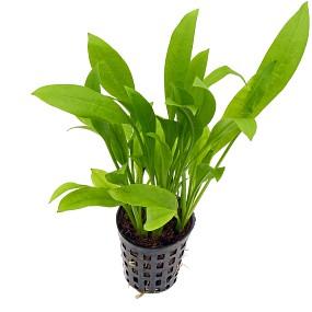 Echinodorus grisebachii 'Amazonicus' - Topf