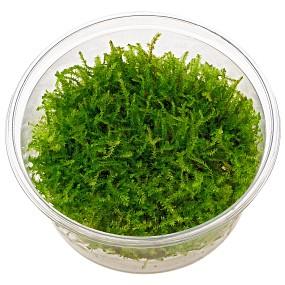 "Vesicularia ""Christmas Moss"" - in Vitro XL"