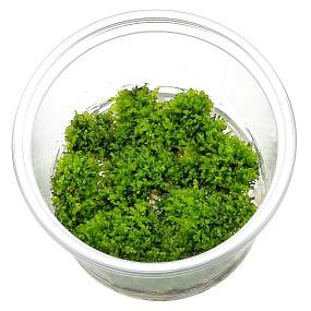 "Riccardia sp. ""chamedryfolia"" - in Vitro"
