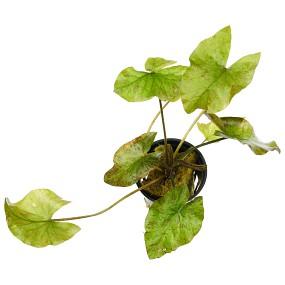 Nymphaea lotus 'Grün'