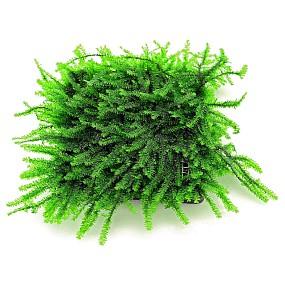 "Pilotrichaceae sp. - ""Pilo moss"" - Pad - 5 x 5 cm"