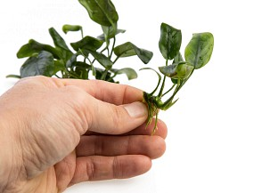 neue Einzelpflanze