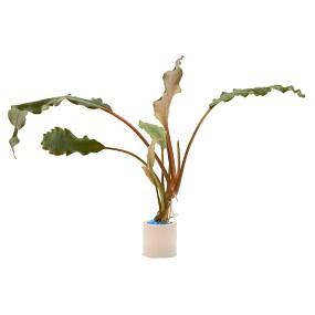 """Lagenandra meeboldii """"Kerala"""" - Einzelpflanze"""