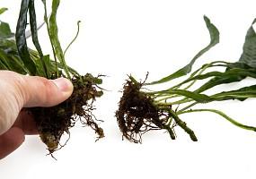 neue Farn-Einzelpflanze