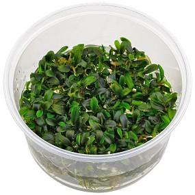 "Bucephalandra sp. ""Mini Needle Leaf"" - in Vitro XL"