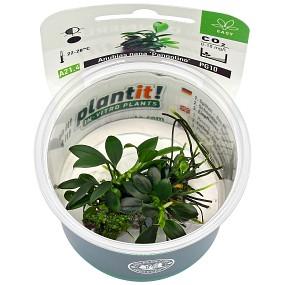 Anubias barteri var. nana 'Pangolino' - Plant-It!