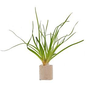 """Eriocaulon sp. """"Malayattoor"""" - Einzelpflanze"""
