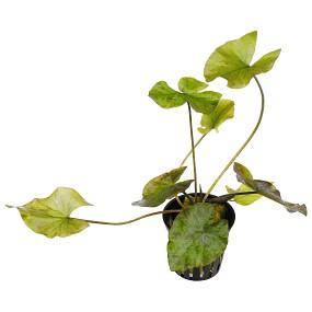 Nymphaea lotus 'Grün' - Topf