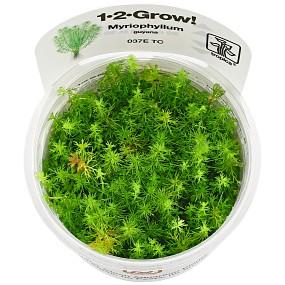 """Myriophyllum sp. """"Guyana"""" - 1-2-GROW!"""