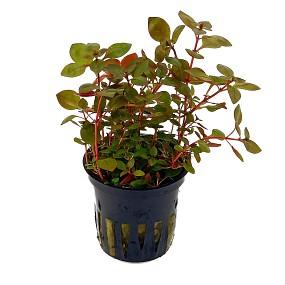 """Ludwigia palustris """"Super Red"""" - Topf"""