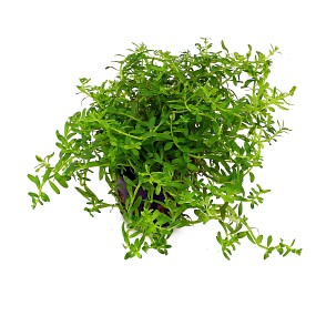 """Rotala sp. """"Green"""""""