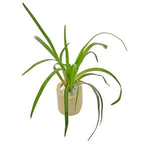 """Eriocaulon sp. """"Vietnam"""" - Einzelpflanze"""